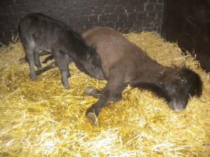 Het eerste veulen is geboren!!!