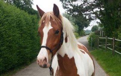 Horse for Sale / Paard te koop